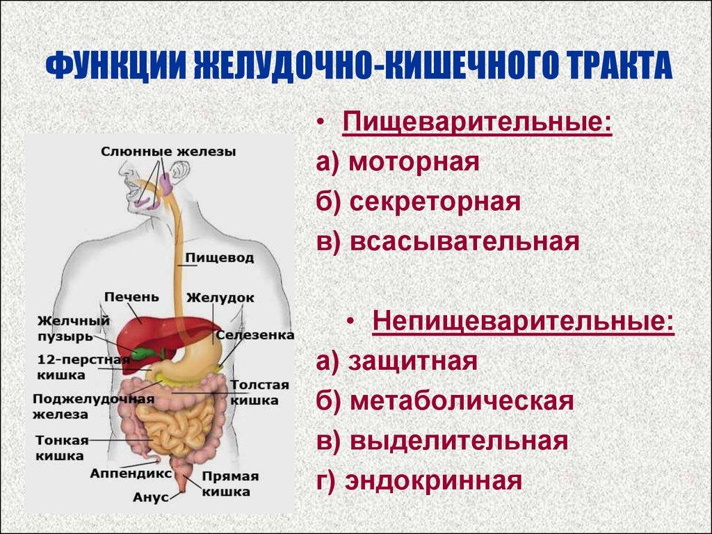 Схема желудочно кишечного тракта с отделами